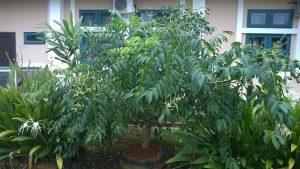 Pokok kedondong di Taman Etnobotani IPGKTAR