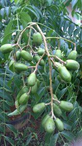 Sejambak buah yang masih mentah