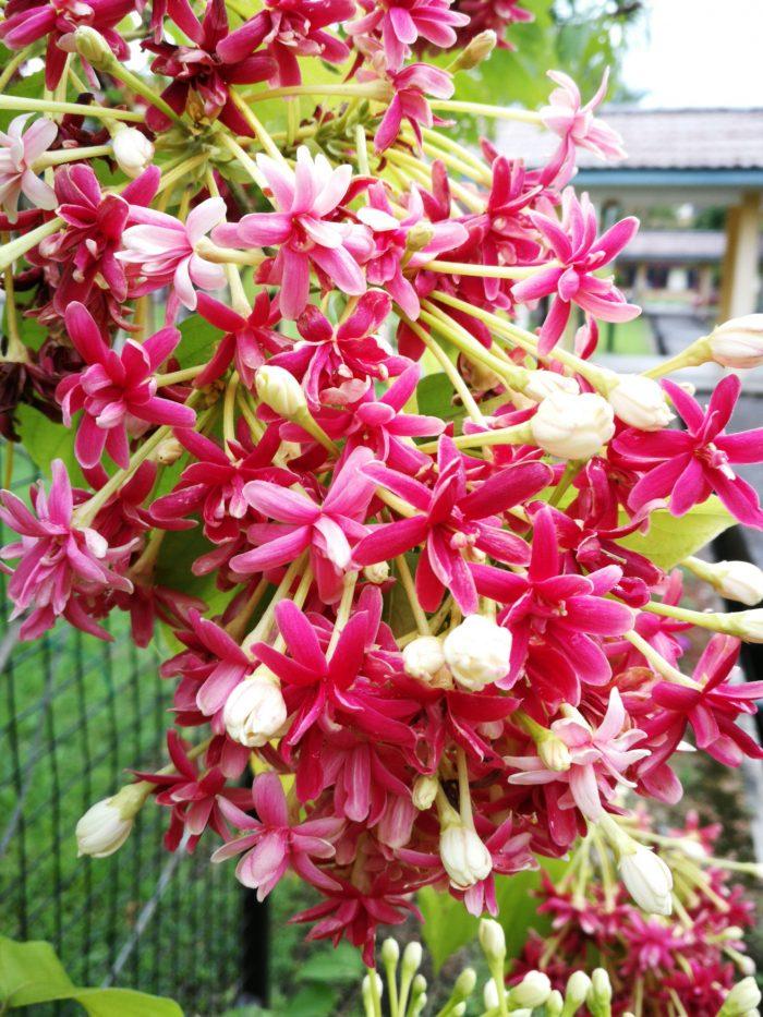 Pameran pelbagai peringkat bunga dari kuntum berwarna putih, bunga yang mula berkembang berwarna merah jambu, hinggalah bunga yang telah berkembang beberapa hari berwarna merah.