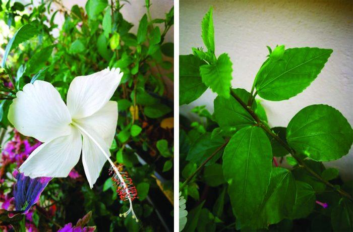Hibiscus Dainty White